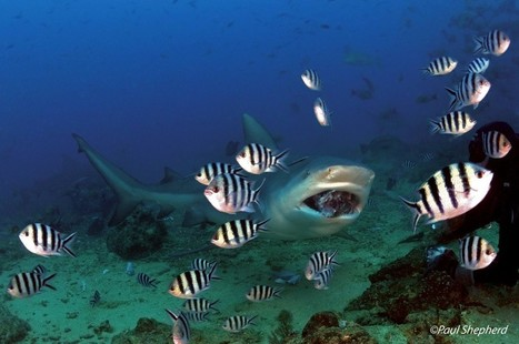 Scuba Safety: Diving with Sharks - Scuba-Blog.com | All about water, the oceans, environmental issues | Scoop.it