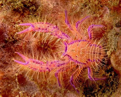 Bio marine, les crustacés, la galathée rose poilue | Variétés entomologiques | Scoop.it