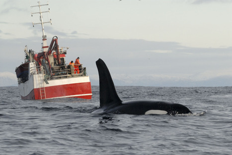 Noisy oceans potentially driving whales away from prime habitat | Sustain Our Earth | Scoop.it