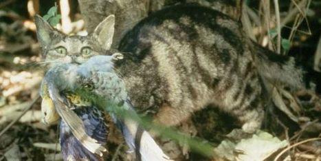 L'Australie s'apprête à abattre deux millions de chats | Biodiversité | Scoop.it