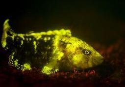 Underwater creatures glow in the dark in stunning UV light photography - New York Daily News | ScubaDiving | Scoop.it