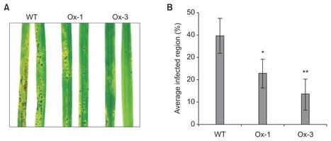 Overexpression of a Pathogenesis-Related Protein 10 Enhances Biotic and Abiotic Stress Tolerance in Rice | Rice Blast | Scoop.it