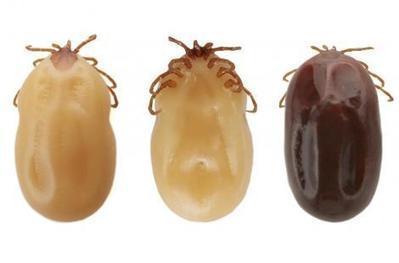 Maladie de Lyme : un nouveau protocole de soins en juillet (abonnés) | Variétés entomologiques | Scoop.it