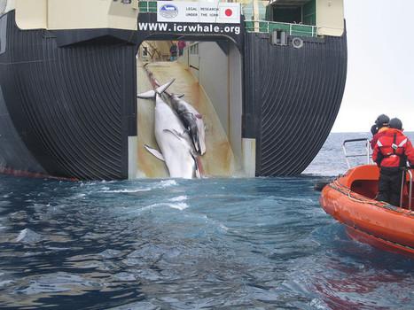 Le Japon poursuit sa chasse à la baleine | La Croix | Actualité du Japon dans les médias français | Scoop.it
