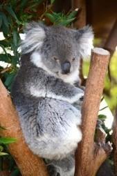 Les koalas divisent l'Australie | Développement durable en France | Scoop.it