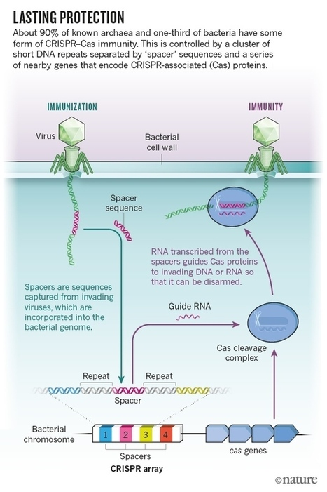 Five big mysteries about CRISPR's origins | SynBioFromLeukipposInstitute | Scoop.it