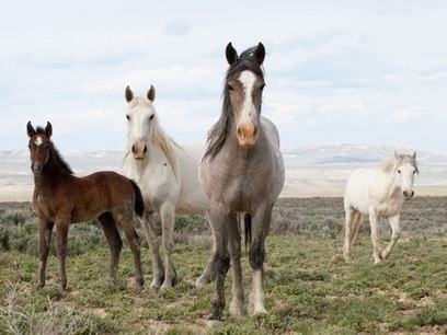 America's wild mustangs cannot be left to manage themselves | Ecologist | CALS in the News | Scoop.it
