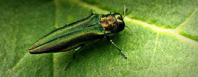 Beetle Could Pose New Threat to Olive Trees
