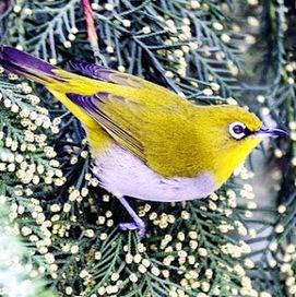 Daftar Harga Burung Pleci Berbagai Jenis Terbar