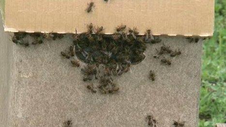 Deux millions d'abeilles remis aux apiculteurs les plus touchés en Ariège – environnement - France 3 Midi-Pyrénées | Abeilles, intoxications et informations | Scoop.it