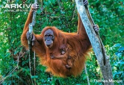 ARKive blog Endangered Species of the Week: Sumatran orangutan - | Corinne | Scoop.it