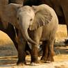 Elephant holocost