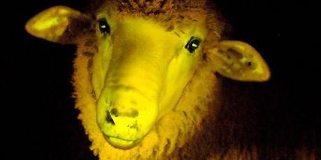 Naissance de moutons génétiquement modifiés phosphorescents en Uruguay | Ca m'interpelle... | Scoop.it