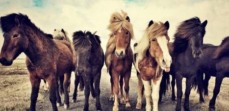 Les chevaux dotés d'une mutation génétique renforcée par les Vikings | Cheval et Nature | Scoop.it