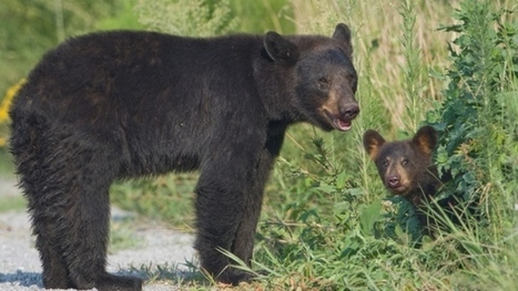 Drone flights overhead cause stress for black bears, study says | Upsetment | Scoop.it