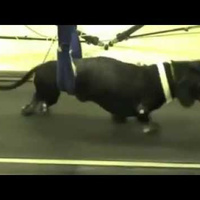 Paralyzed dogs walk again after nose cell transplants | Mutations et convergences discordantes | Scoop.it