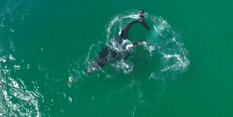 Un drone filme le ballet aquatique d'une baleine et d'un dauphin | Drone | Scoop.it