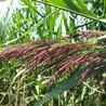 Pathogens and plant invasion
