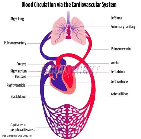 How does the Human Body Cardiovascular System Work? | Anatomy | Scoop.it