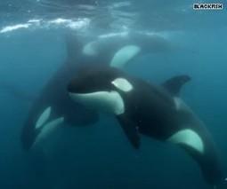 Beyond Blackfish: JVM investigates -- Killing - HLNtv.com | Animals in captivity - Zoo, circus, marine park, etc.. | Scoop.it