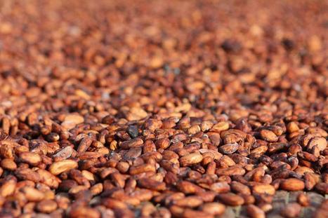 Chocolat « responsable » : derrière les promesses de l'industrie agroalimentaire, une filière cacao à bout de souffle | Questions de développement ... | Scoop.it
