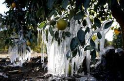 Cold still threatens crops, but deep freeze easing | Auburn (CA) Journal | CALS in the News | Scoop.it