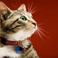 House Cat Meets Bobcat   Webvet   kittens   Scoop.it