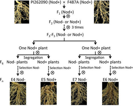 Transcriptome profiles reveal gene regulation of peanut (Arachis hypogaea L.) nodulation | Plant-Microbe Symbiosis | Scoop.it