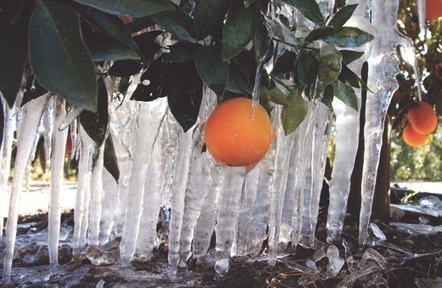 Cold snap wreaks havoc with crops | Daily Democrat (Woodland, CA) | CALS in the News | Scoop.it
