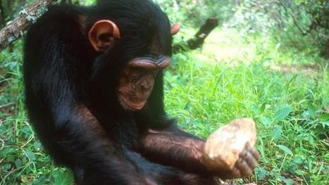 #Chimpanzees and #monkeys have entered the Stone Age #ancestry #humans | Limitless learning Universe | Scoop.it