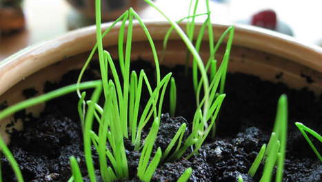 How to grow herbs indoors this winter | A Scoop At Ecological Issues | Scoop.it