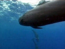Pod of pilot whales stranded in the Florida Everglades - WPTV | Earth Island Institute Philippines | Scoop.it