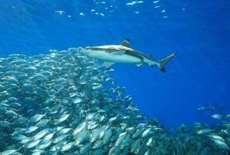A Collage Of Senses Help Sharks Hunt For Food: Study - RedOrbit | Coral Reef Ecology | Scoop.it
