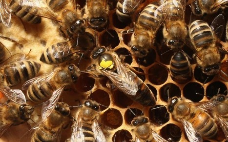 'Killer bees' could solve population crisis - Telegraph | BIOSCIENCE NEWS | Scoop.it