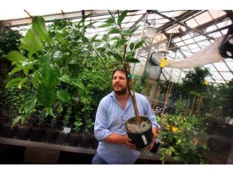 RIVERSIDE: Scientists, park officials strive to keep legendary orange tree alive | Citrus Science | Scoop.it