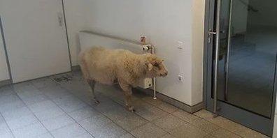In der Tür geirrt: Das Schaf aus dem Fahrstuhl | Elevator Stories | Scoop.it