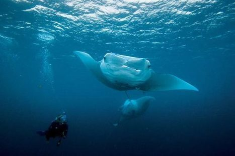 Top 5 Places to Scuba Dive with Manta Rays | Diving Destinations | Scoop.it