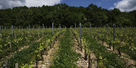Le mildiou fait douter les vignerons bio de Bourgogne   Vin passion   Scoop.it