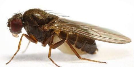 Le réchauffement climatique menace lareproduction des mouches | EntomoNews | Scoop.it