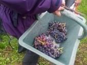 TéléProTour - Vendanges sur les coteaux des Côtes de Bourg - Actualités - Blog | Oenotourisme dans le Bordelais | Scoop.it