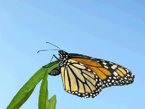 Quand les insectes se soignent par les plantes… | EntomoNews | Scoop.it