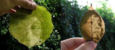 Revelan fotos en hojas de plantas utilizando sus pigmentos naturales - Ecoportal.net | Uso inteligente de las herramientas TIC | Scoop.it