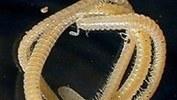 Descubren los secretos del milpiés de 750 patas | Hoy Digital (Dominican Republic) | CALS in the News | Scoop.it