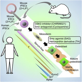 Stepwise Differentiation of Pluripotent Stem Cells into Osteoblasts Using Four Small Molecules under Serum-free and Feeder-free Conditions | Cell Therapy & Regenerative Medicine | Scoop.it