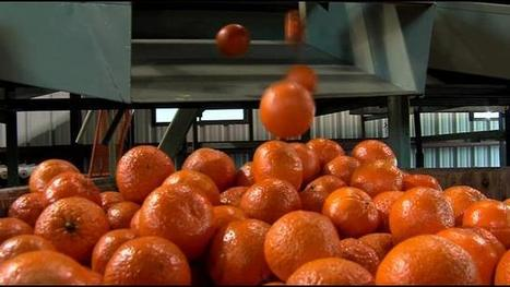 USDA offers money to growers affected by citrus greening | Citrus Science | Scoop.it