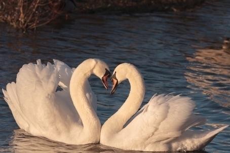 Two swans love hd wallpapers hd wallpap two swans love hd wallpapers voltagebd Gallery