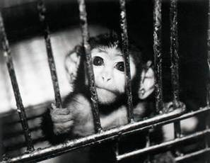 Cruel And Useless Animal Testing On Monkeys | Global Animal | Animals R Us | Scoop.it