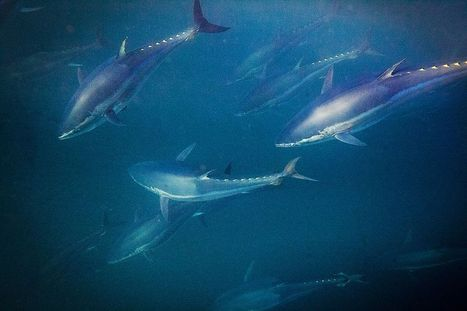 "Bluefin Tuna Are Showing Up in the Arctic—and That's Not Good News (""the biodiversity gets upset"") 