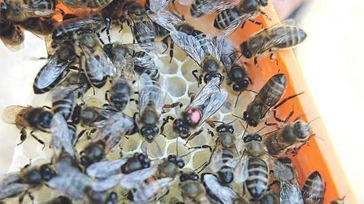 'Stem inevitable decline of Maltese honeybee'