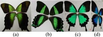 Deciphering Butterflies' Designer Colors: Findings Could Inspire New Hue-changing Materials | Biomimicry | Scoop.it